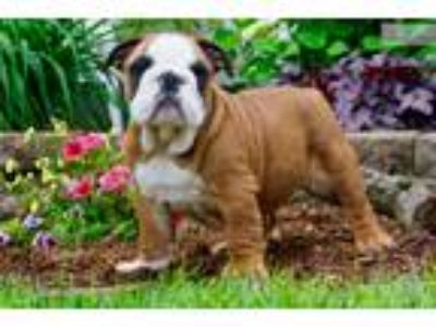 Akc Anchor Super Nice English Bulldog