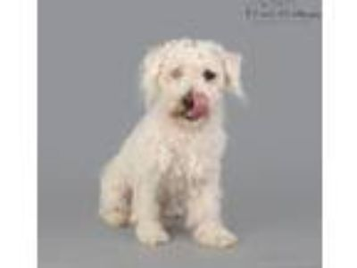 Adopt Brody a White Poodle (Miniature) / Mixed dog in Lodi, CA (25612709)