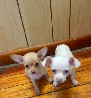 Chihuahua PUPPY FOR SALE ADN-90711 - Tea Cup CKC Chihuahuas