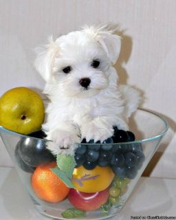 Purebred Mini Maltese puppies with full vaccination ready to go!