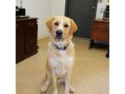 Adopt Luke a Labrador Retriever / Great Pyrenees / Mixed dog in York