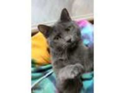 Adopt Polo a Gray or Blue Domestic Shorthair (short coat) cat in Carlisle