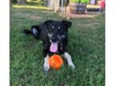 Adopt Ben a Black and Tan Coonhound, Anatolian Shepherd