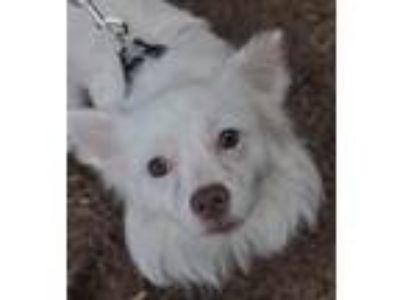 Adopt Gary a White Pomeranian / Papillon / Mixed dog in Atlanta, GA (23387090)