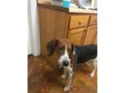Adopt Jedd a Tan/Yellow/Fawn Hound (Unknown Type) / Mixed dog in Shelbyville