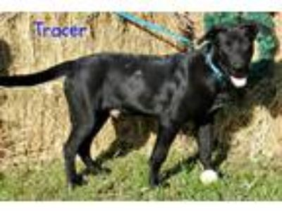 Adopt Tracer a Black - with White Labrador Retriever / Mixed dog in