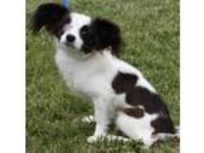 Adopt One Eyed Willie a Papillon, Cavalier King Charles Spaniel