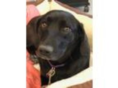 Adopt Libby a Black Labrador Retriever / Beagle / Mixed dog in Morton Grove