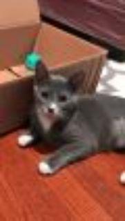 Randall Domestic Short Hair Cat