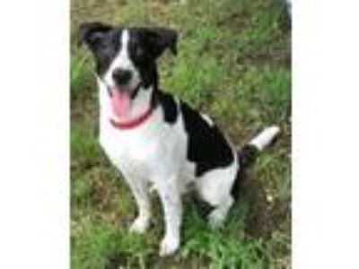 Adopt Charlie a White - with Black Border Collie / Mixed dog in Waterbury