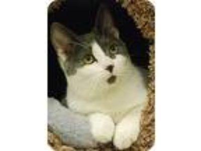 Adopt Dottie a American Shorthair / Mixed cat in Morgan Hill, CA (11364434)