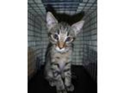 Adopt Lombre a All Black Domestic Shorthair / Domestic Shorthair / Mixed cat in