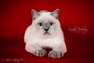 Grace is waiting for you - Scottish Straight blue point female. Shipping cost included