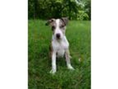Adopt Reese a Brindle Pit Bull Terrier / Mixed dog in Lexington, MO (25654039)