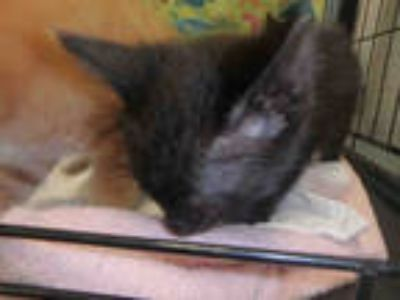Adopt LOVE BUG a All Black Domestic Shorthair / Mixed (short coat) cat in