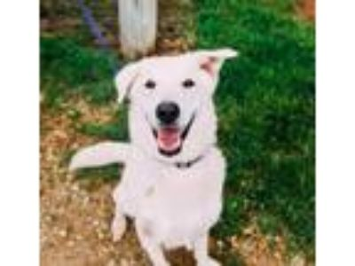 Adopt Scout a White Shepherd (Unknown Type) / Mixed dog in Blair, WI (25805610)