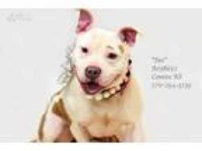 Adopt Sue a White - with Tan, Yellow or Fawn American Staffordshire Terrier /