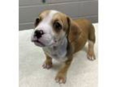 Adopt FRANK a Hound, Mixed Breed