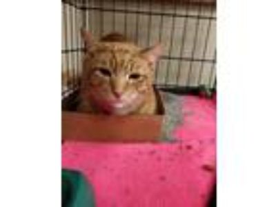 Adopt Edgarr a Orange or Red Tabby Domestic Shorthair (short coat) cat in Avon
