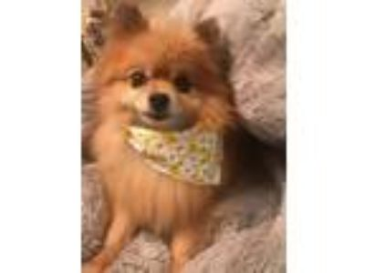 Adopt Bailey Bea a Tan/Yellow/Fawn Pomeranian / Mixed dog in Studio City
