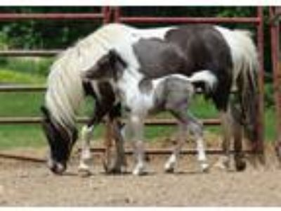 ASPCAMHR registered black and white mare and colt