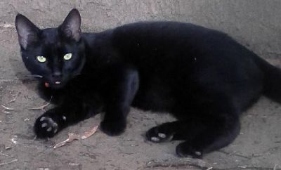 Lost neutered black bobtail cat