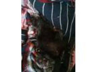 Adopt Batman a Black (Mostly) American Shorthair / Mixed cat in Lebanon