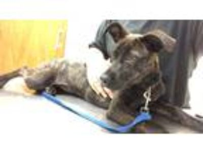 Adopt LULU a Brindle Whippet / Pit Bull Terrier / Mixed dog in Enid