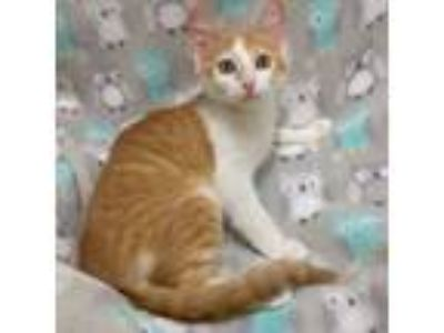 Adopt HALO - ANGEL FROM HEAVEN a Orange or Red (Mostly) Domestic Shorthair
