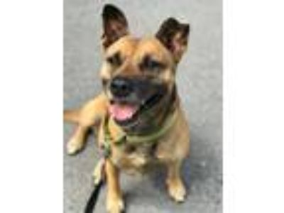 Adopt Lovey a Shepherd (Unknown Type) / Bull Terrier / Mixed dog in FREEPORT
