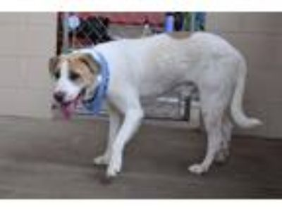 Adopt Corey a White - with Brown or Chocolate Labrador Retriever / Mixed dog in