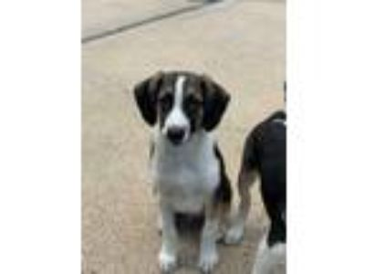 Adopt Edgar a Brown/Chocolate - with White Hound (Unknown Type) / Mixed dog in