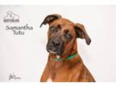 Adopt Samantha Tutu a Red/Golden/Orange/Chestnut Boxer / Doberman Pinscher /