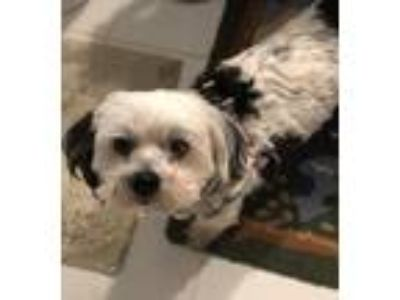 Adopt Oscar a Black - with White Shih Tzu / Miniature Poodle / Mixed dog in