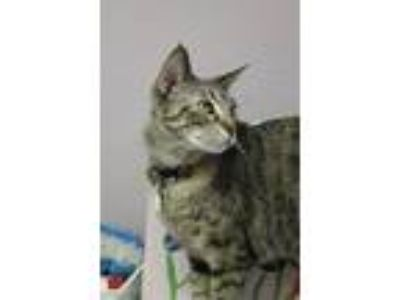 Adopt Harper a Brown Tabby Domestic Shorthair (short coat) cat in New Richmond,