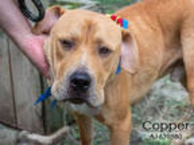 Adopt COPPER a Brown/Chocolate - with White Mastiff / Mixed dog in Houston