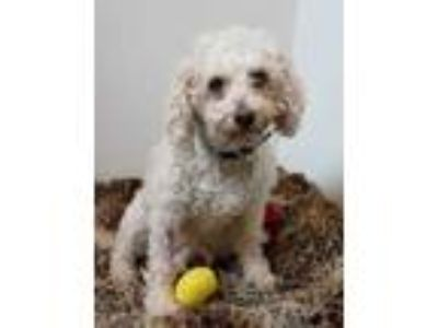Adopt Siera 26152-d a White Poodle (Miniature) / Bichon Frise / Mixed dog in