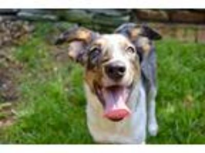 Adopt Beau a Merle Collie / Mixed dog in Medford, NJ (25938914)