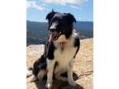 Adopt Opie a Border Collie