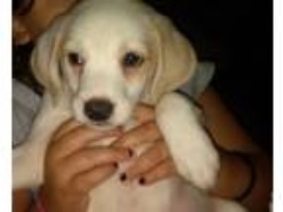 Adopt Sneezy a White - with Tan, Yellow or Fawn Beagle / Mixed dog in Lima