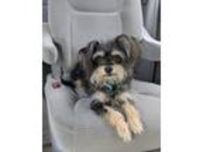 Adopt Milley a Yorkshire Terrier, Terrier