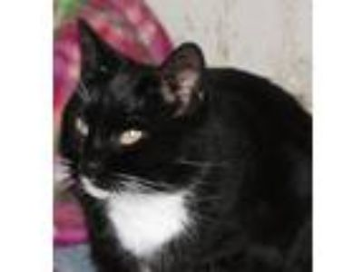 Adopt Boots a American Shorthair
