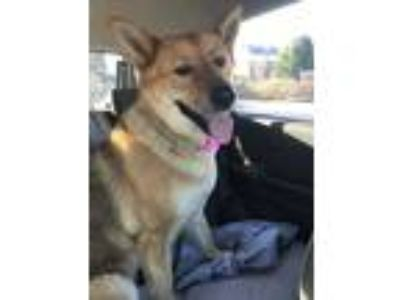 Adopt Aeris a Red/Golden/Orange/Chestnut - with Black German Shepherd Dog dog in