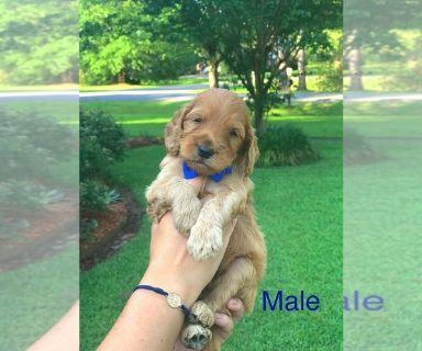 Goldendoodle-Poodle (Standard) Mix PUPPY FOR SALE ADN-130795 - F1BB Golden Doodle