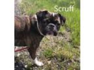 Adopt Scruff a Pug, Boston Terrier