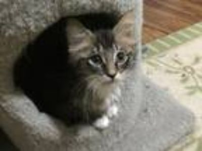 Adopt Rapunzel19 a Maine Coon / Mixed (short coat) cat in Youngsville