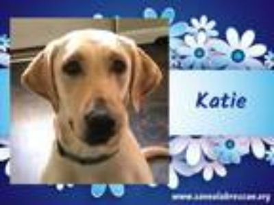 Adopt Katie a Labrador Retriever, Yellow Labrador Retriever
