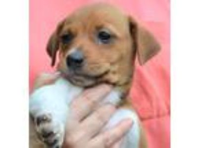 Adopt Carter a Brown/Chocolate - with Tan Beagle / Spaniel (Unknown Type) /