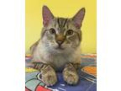 Adopt Cougar - Blind a Domestic Short Hair, Siamese