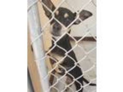 Adopt ARIES a Black - with Tan, Yellow or Fawn Miniature Pinscher / Mixed dog in